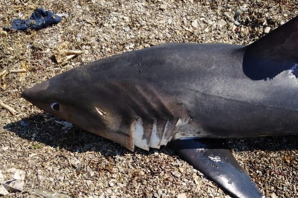 Очевидцы обнаружили сегодня, 23 июня, выброшенную на побережье Холмского района лососевую акулу