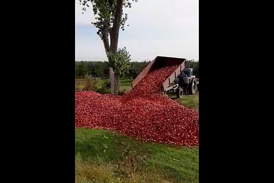 Экономика по-молдавски: урожай выбросили, потому что не покупают, а хранить еще дороже. Кадр из видео.