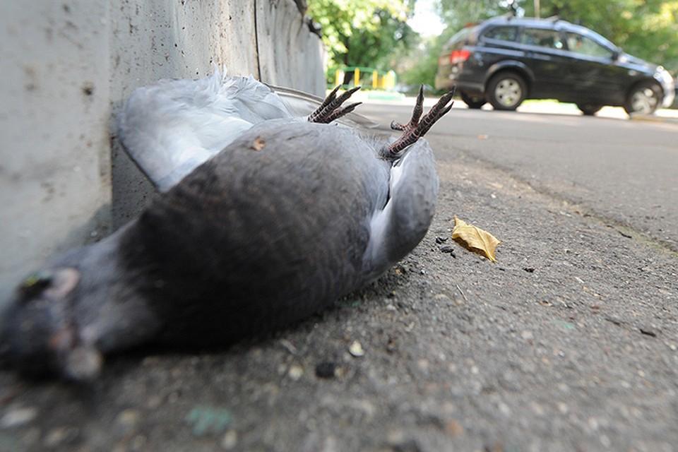 В Москве начали массово гибнуть голуби